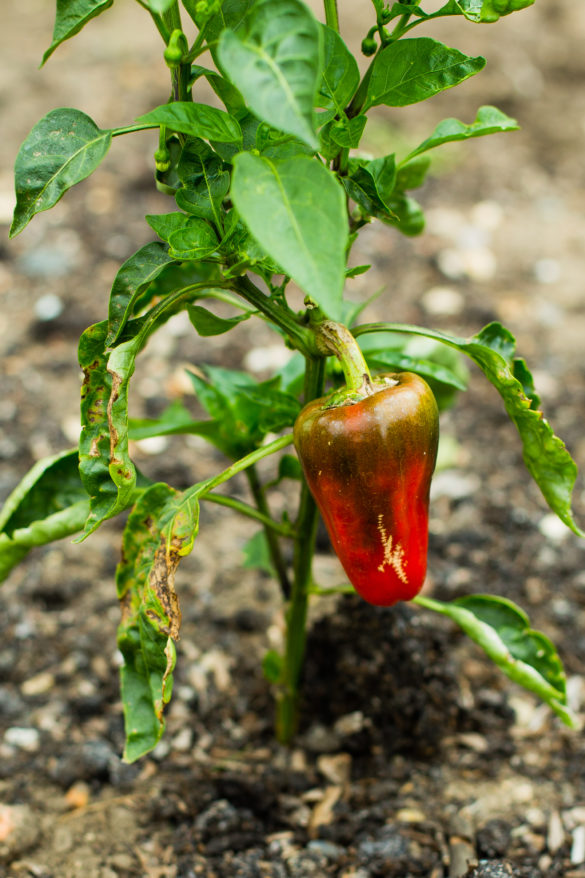 red pepper plant in garden