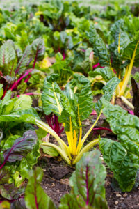 Swiss Chard vegetable patch in garden